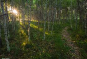 природа, лес, солнце, березы