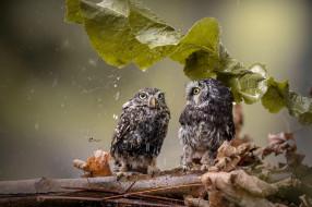 дождь, ветка, совы, лист