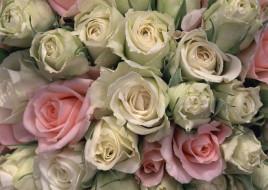 розы, белые, розовые