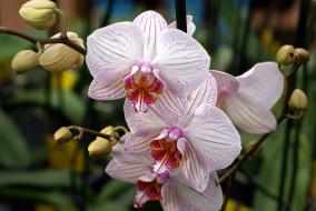 орхидеи, белые, фаленопсис