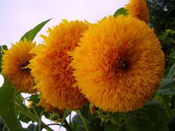 желтые, махровые