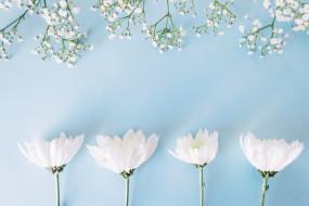 white, цветы, белые, tender, хризантемы, фон, flowers, spring