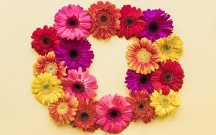 colorful, весна, рамка, bright, хризантемы, spring, flowers, цветы
