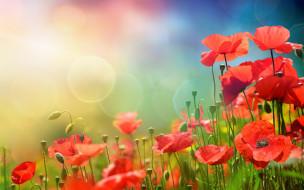 солнце, meadow, маки, spring, flowers, цветы, небо, трава, sky, весна