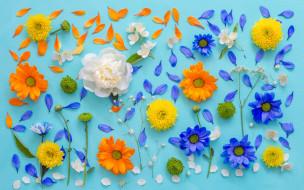хризантемы, фон, лепестки, цветы