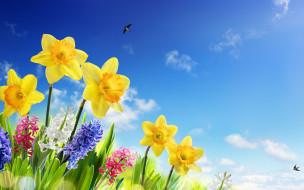ласточки, spring, нарциссы, meadow, цветы, flowers, солнце, небо, sky, весна, трава