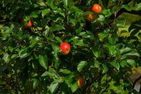 ветка, листья, фон, яблоки