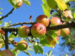 листья, ветка, фон, яблоки