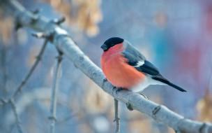 птица, ветка, снегирь, bullfinch