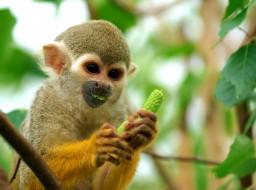 еда, дерево, мартышка, обезьяна