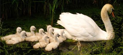лебедь, белый, озеро, камыши, ряска, птенцы
