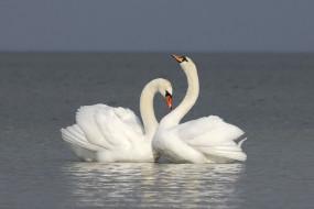 пара, белые, лебеди, вода
