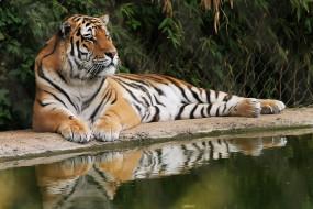 кусты, решетка, тигр, отдых, вода