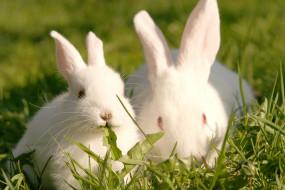 кролики, белые, пара, трава