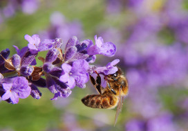 животные, пчелы,  осы,  шмели, пчела, нектар, цветок