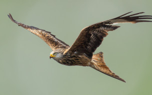 хищная птица, орел, сша, размах крыльев, полет