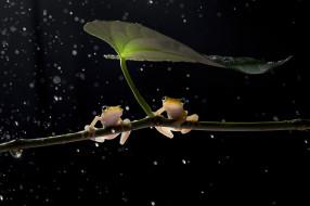 лягушки, чёрный фон, ветка, лист, боке