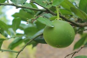 зеленый, незрелый, грейпфрут