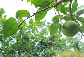 незрелый, грейпфрут, зеленый