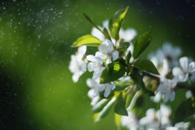 вишня, ветка, весна