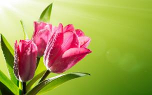 тюльпаны, tulips, роса, spring, flowers, цветы, капли, pink, весна, sunlight, солнце, fresh