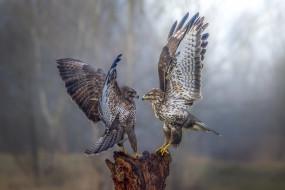 birds, wings, falcon, сокол, птица, хищник