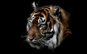 природа, тигр, зверь