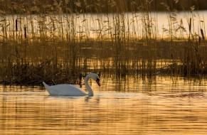 лебедь, камыши, озеро, белый, закат