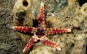 морская звезда, красная, дно