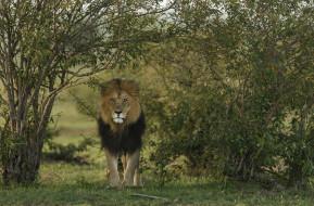 лев, animal, хищник