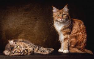 пара, кошки, коты