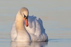 птица, лебедь, вода