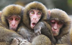 ужимки, обезьяны, мартышки