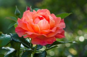 пышная, красавица, роза