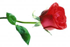 розовая, листья, капли, роза