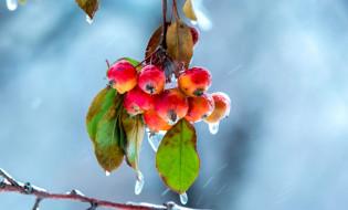 листья, ветка, дождь, яблоки