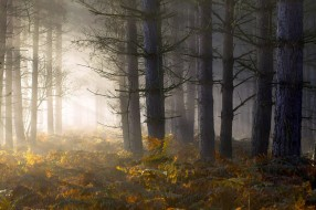 свет, утро, лес, папоротник, туман