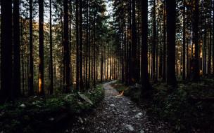 сосны, лес, тропа