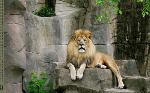 лев, взгляд