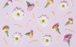 camomile, flowers, tender, pink, ромашки, cute, лепестки, розовые, бутоны, гвоздики