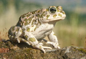 жаба, камень