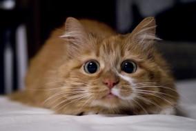 рыжий, глаза, кот, кошка