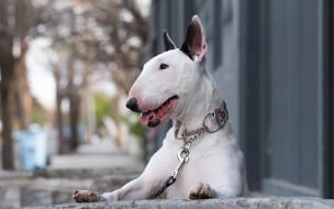 pets, terriers, бультерьер, bull terrier, терьер, собака, англия