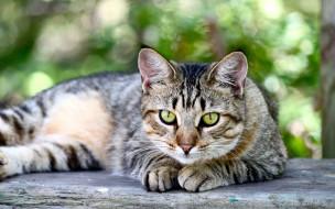 зеленые глаза, домашние животные, американская короткошерстная кошка