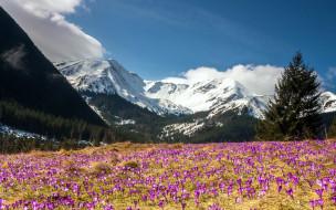 природа, луга, весна, крокусы