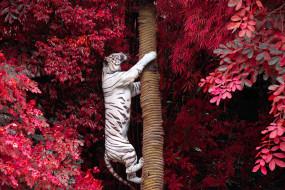 белый тигр, деревья, ветки, ствол, залез, листва, тигр, хищник, на дерево