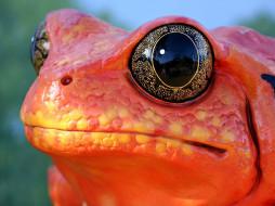 оранжевая, лягушка, глаза