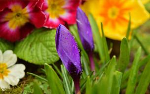 Бутоны, Crocuses, Purple flowers, Drops, Цветочки, Капли, Flowers, Крокус, Фиолетовые цветы