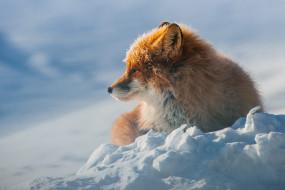 снег, лежит, лиса, дикая природа, зима, рыжая