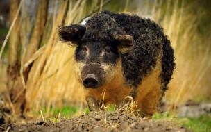 черная свинья, кудрявый кабан, животные, вепрь, кабан, дикое животное
